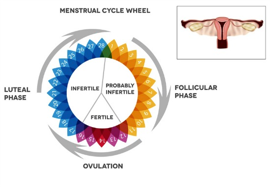 How To Calculate Ovulation Date: A very simple method you can do now!