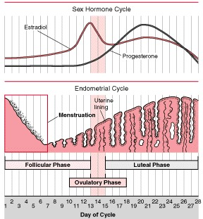 Changes in vagina throughout cycle