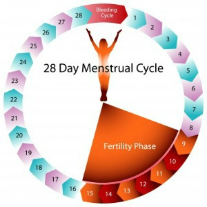 The ovulation cycle basics of menstruation for you organs in the genital organs like the ovaries uterus cervix and vagina as well as in other non genital organs like the breasts and skin ccuart Choice Image